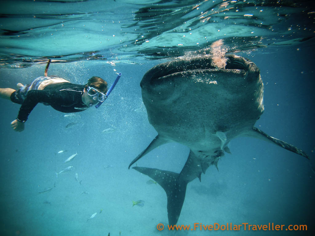 Tom_Whale_Shark_Philippines